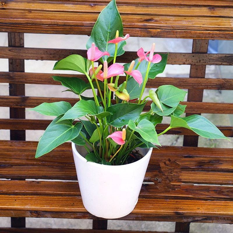120Pcs/Bag Anthurium Bonsai Indoor Potted Hydroponic Flowers Seeds Anthurium For Office Decoration Home Garden Potted Houseplant Plants