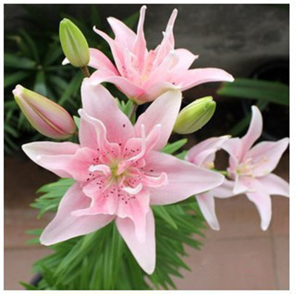 Egrow 100Pcs/Pack Perfume Lily Seeds White Pink Lovely Home Decoration Plants Flowers Seeds