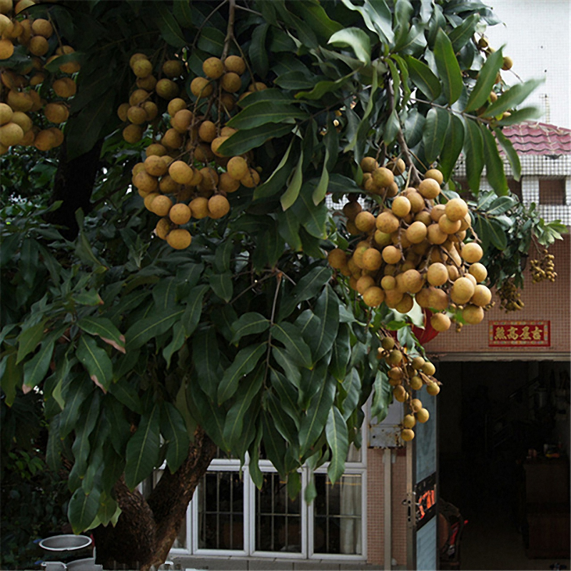 Egrow 4pcs/Bag Longan Seeds Live DRAGON'S EYE Exotic LONGAN Dimocarpus Sweet Tropical FRUIT Tree Seeds