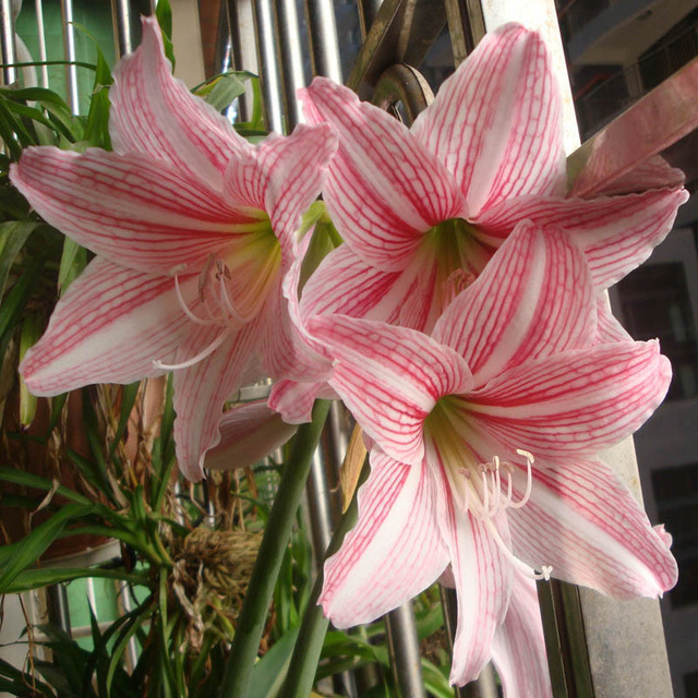 Egrow 50Pcs/Pack Rainbow Lily Seeds Potted Bonsai Plant Lily Flower Seeds for Home Garden