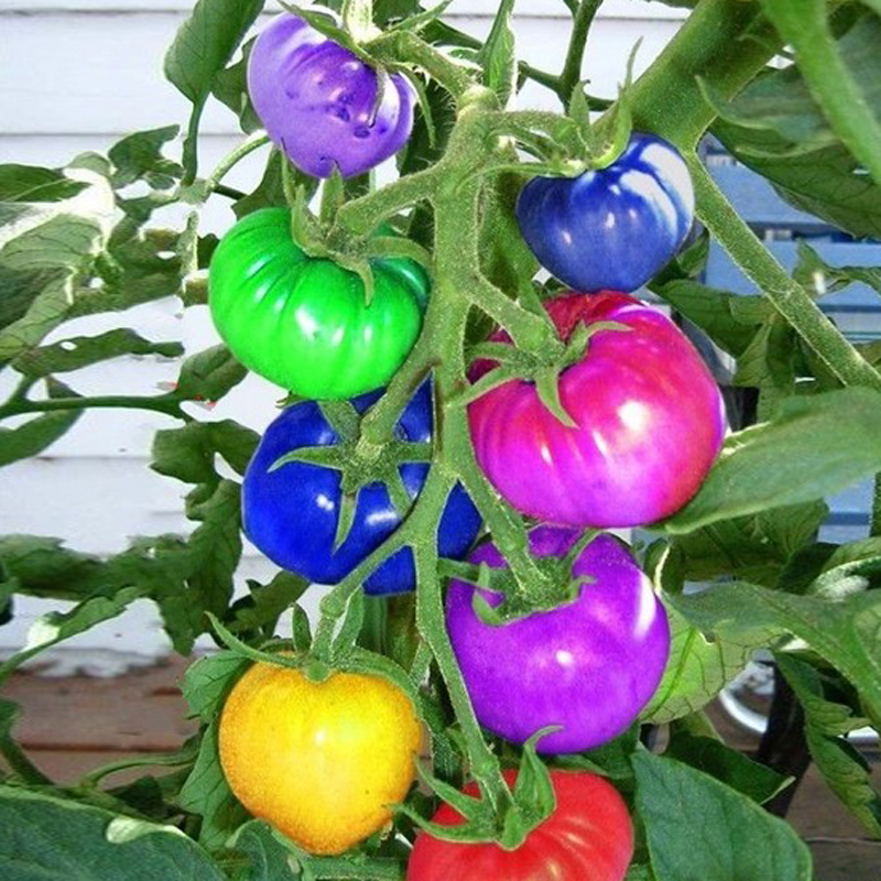 Egrow 100Pcs Rainbow Tomato Seeds Colorful Bonsai Organic Vegetables and Fruits Seed Home Garden