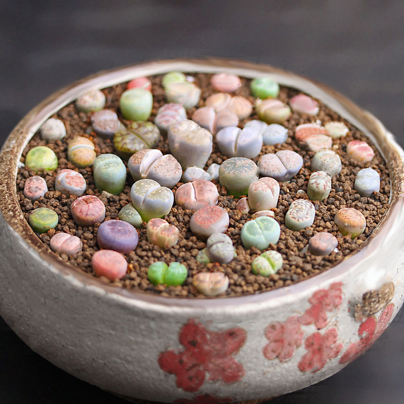 Egrow 100pcs Graines Lithops Pseudotruncatella Plant Seed Rare Potted Stone Succulentes Mixture Seeds