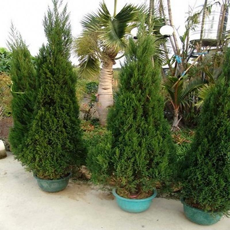 Egrow 50 PCS Italian Cypress Tree Seeds Cupressus Sempervirens Home Garden Bonsai Planting Seeds