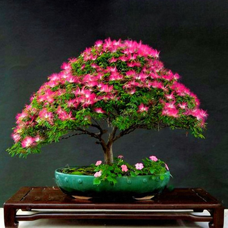 Egrow 20Pcs Acacia Tree Seeds Colorful Albizia Julibrissin Tree Seed Indoor Bonsai Tree Planting