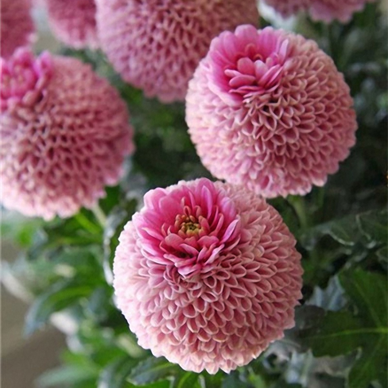 Egrow 100 PCS Giant Allium Giganteum Globemaster Beautiful Flower Seeds Garden Plant Seed Bonsai Potted