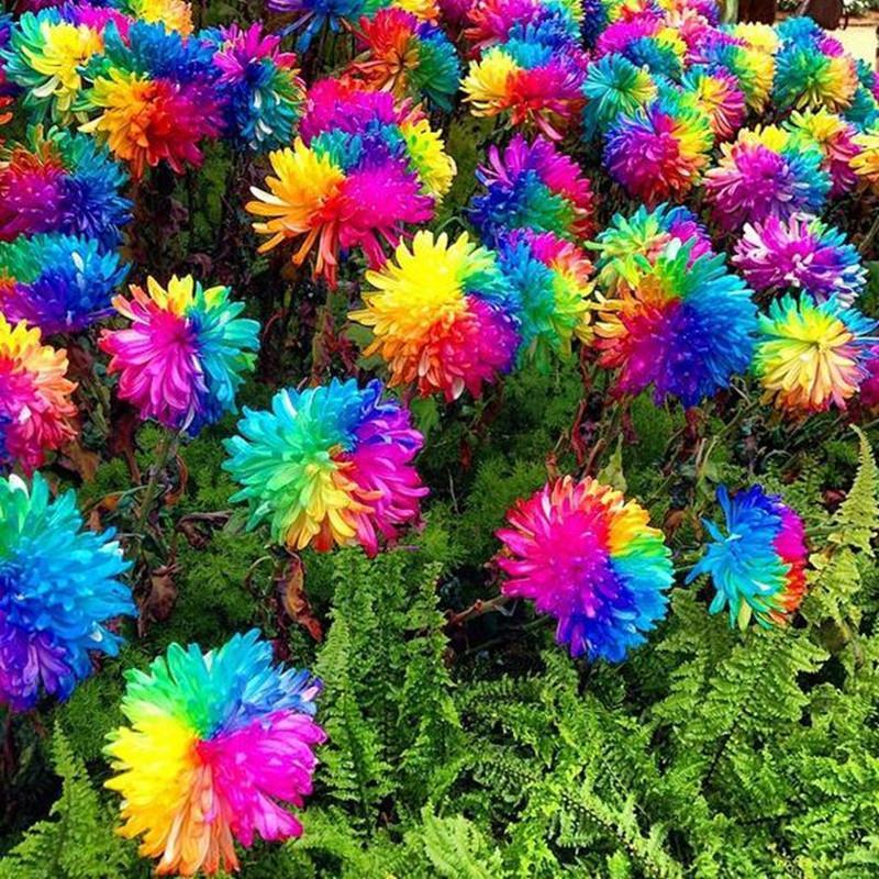 Egrow 20Pcs Rainbow Chrysanthemum Flower Seeds Rare Color Home Garden Bonsai Dye