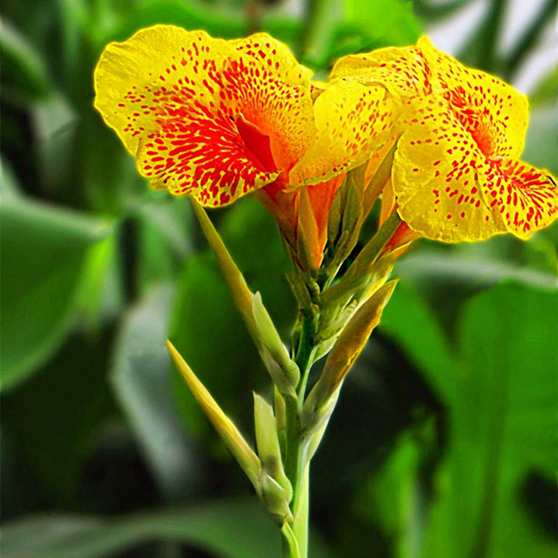 Egrow 100Pcs/Pack Canna Lily Seeds Garden Outdoor Bonsai Tropical Bronze Scarlet Flower Seeds