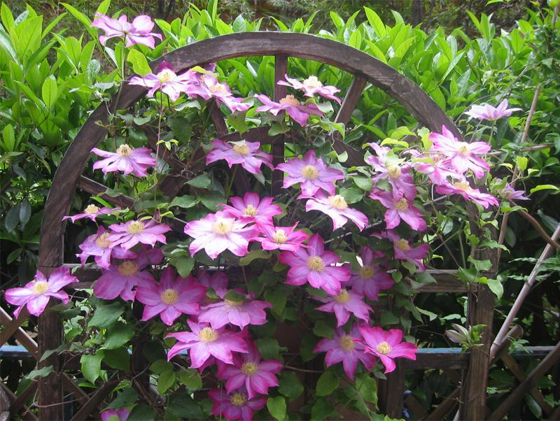 Egrow 100Pcs Home Gardening Clematis Floride Thunb Flower Seeds Home Bonsai Plant