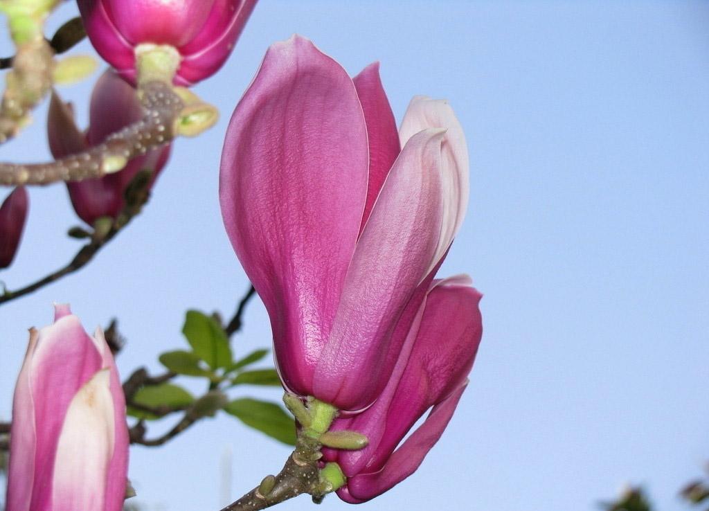 10pcs jard n magnolia rojos denudata semillas del rbol de - Semilla de magnolia ...