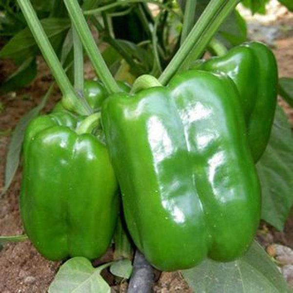 Egrow 30Pcs/Pack Green Pepper Seeds Green Plants Vegetables Seeds