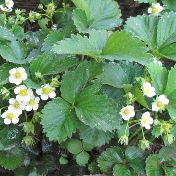 Egrow 500Pcs/Pack Purple Strawberry Seeds Garden Seeds Fruit Seeds Super Strawberry Climbing Plant
