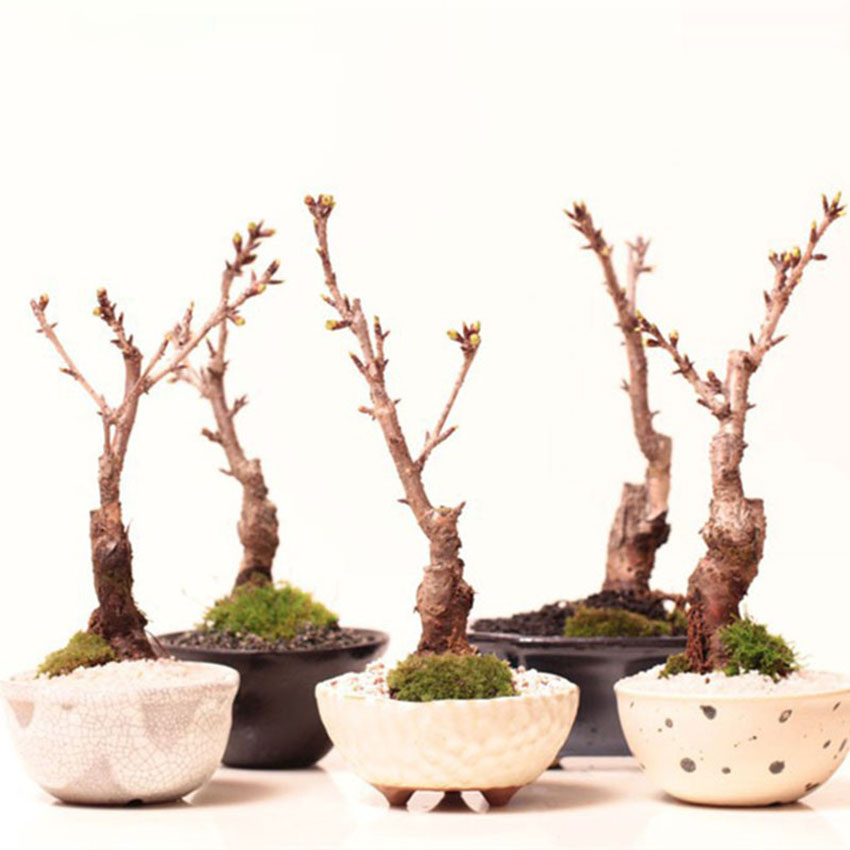Egrow 10Pcs Japanese Sakura Seeds Pink Plants Cherry Blossoms Flower Bonsai Potted Sakura Tree