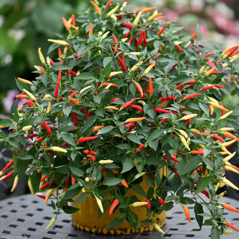 Egrow Mix Color Pepper Seeds Chili Pepper Vegetable Seeds Garden Decoration Bonsai Plant