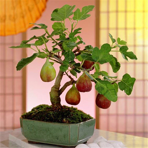Egrow 100Pcs/Pack Tropical Fig Seeds Mini Fig Tree Bonsai Fruit Seed Garden Indoor Potted Plants