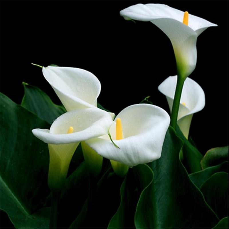 Egrow 10Pcs/Pack Zantedeschia Seeds Herbs Plant Heart Rotation Shape Home Office Potted Plants