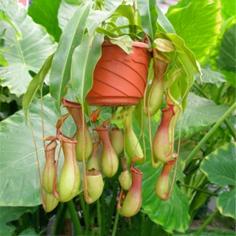 Egrow 50PCS Nepenthes Seeds Potted Plant Eating Mosqutio Insert Garden Outdoor Flowers Bonsai