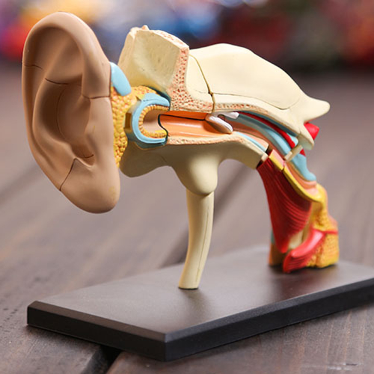 4d Vision Human Ear Anatomy Model Anatomical Medical Le For Sale