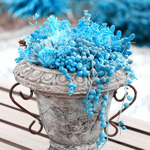 Egrow 100 Pcs/Bag Blue Pearl Chlorophytum Seed Potted Plants Flowers for Garden & Indoor Decoration