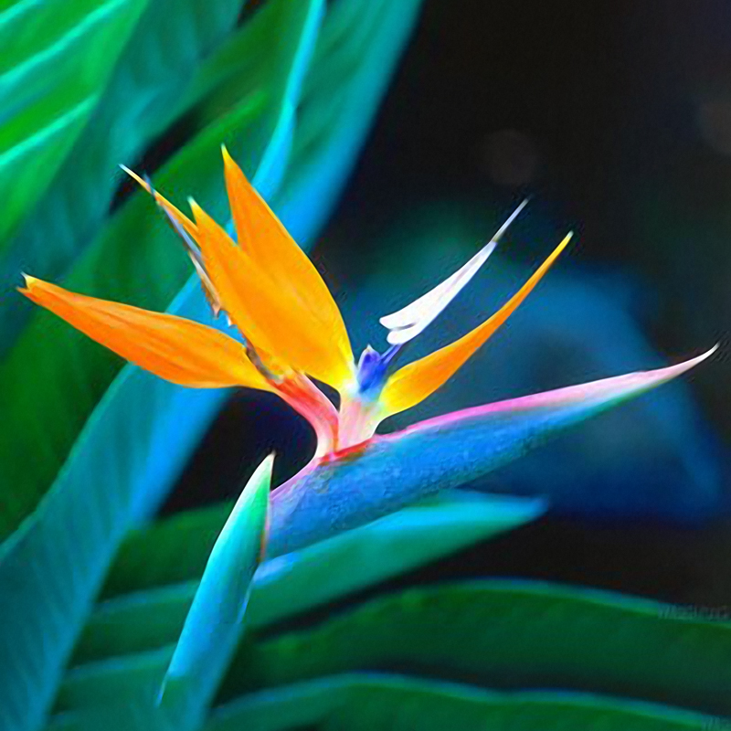Egrow 100PCS Strelitzia Bonsai Seeds Bird of Paradise Flowers Seed Mix Color ForGarden Planting
