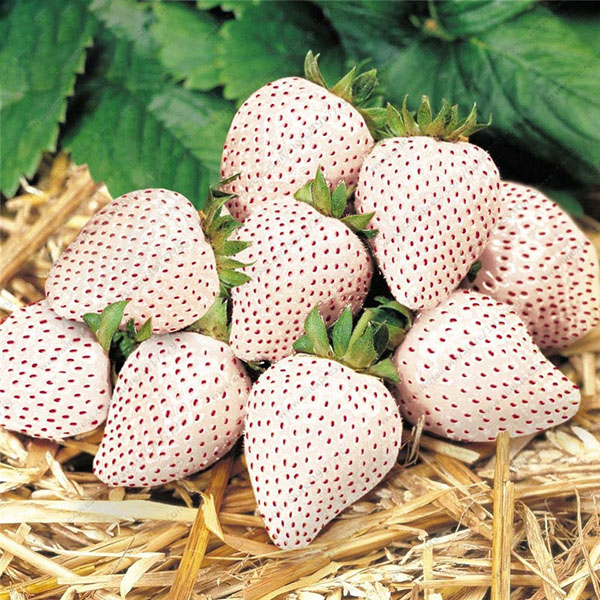 Egrow 100Pcs/Pack White Strawberry Seeds Garden Indoor Bonsai Organic Fragaria Fruit Seed