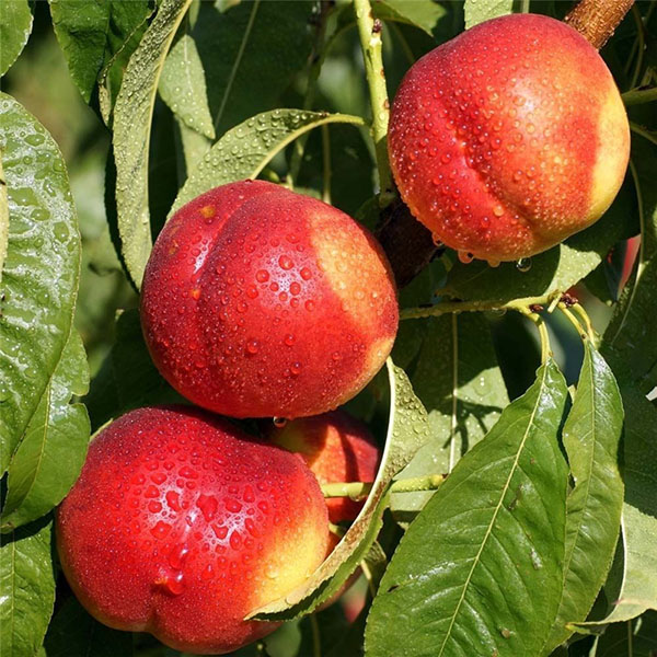 Egrow 10 Pcs/Pack Sweet Peach Seed Gardening Dwawf Peach Tree Bonsai Fruit Peach Seeds Plants
