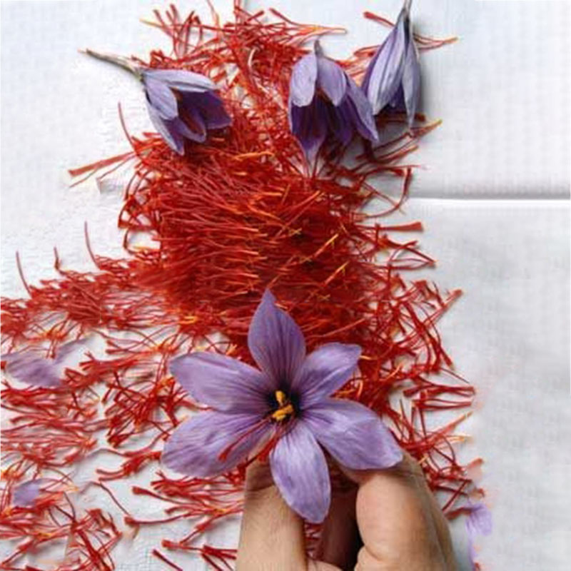 Egrow 1000Pcs/Pack Saffron Seeds Outdoor Flower Bonsai Iran Saffron Potted Plant For Home Garden Planting