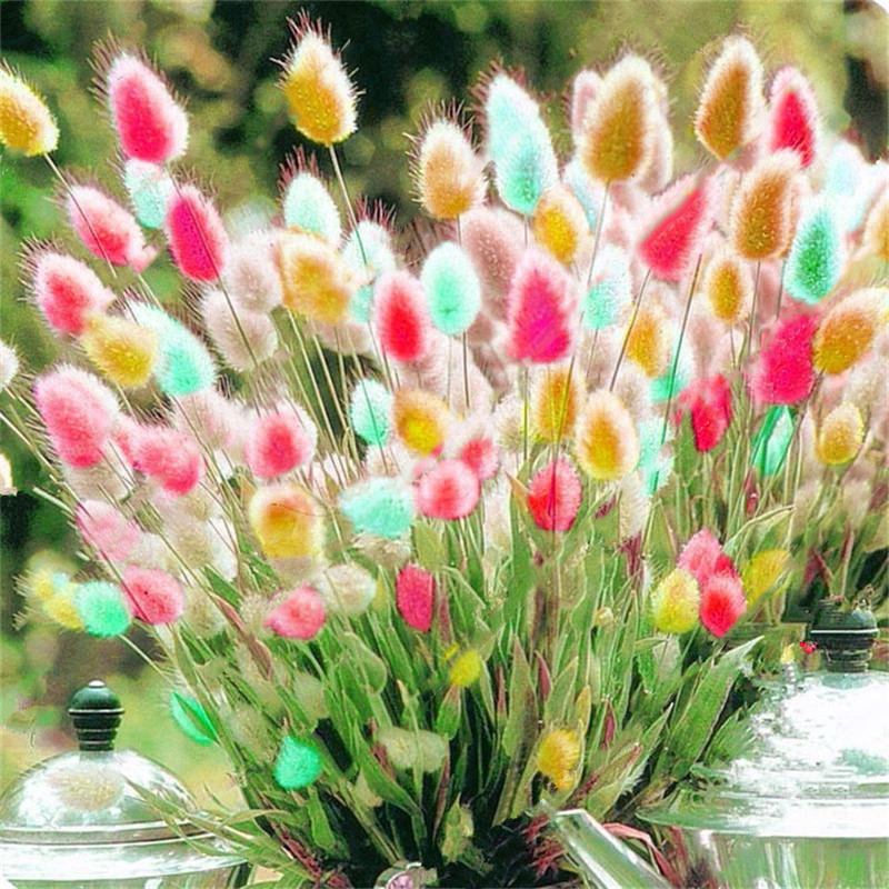 Egrow 100Pcs/Pack Rabbit Tail Grass Seeds Mixed Color Garden Bunny Tail Grass Decor Plants