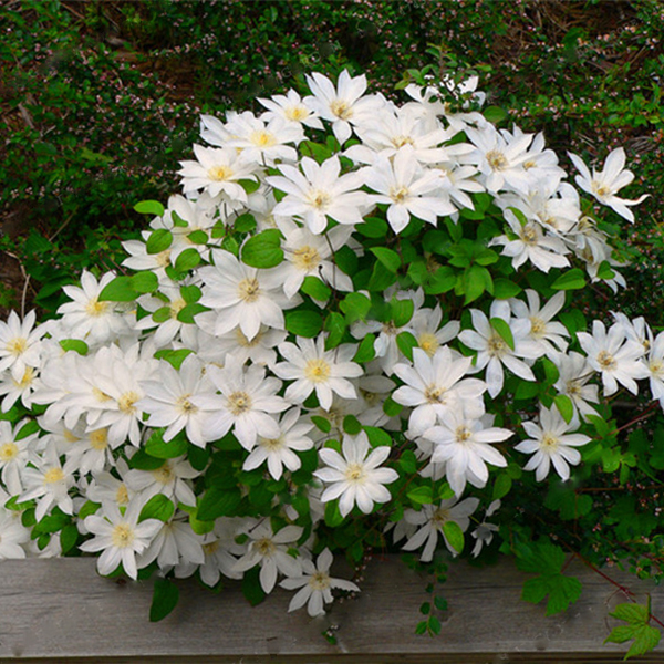 Egrow 100Pcs Clematis Flower Seeds Perennial Plant Garden Decoration Vines Climbing Clematis Seed
