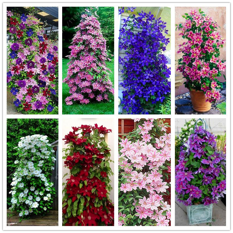 Egrow 100pcs/Pack Mixed Colors Clematis Seeds Flower Vines Bonsai Perennial Climbing Plant