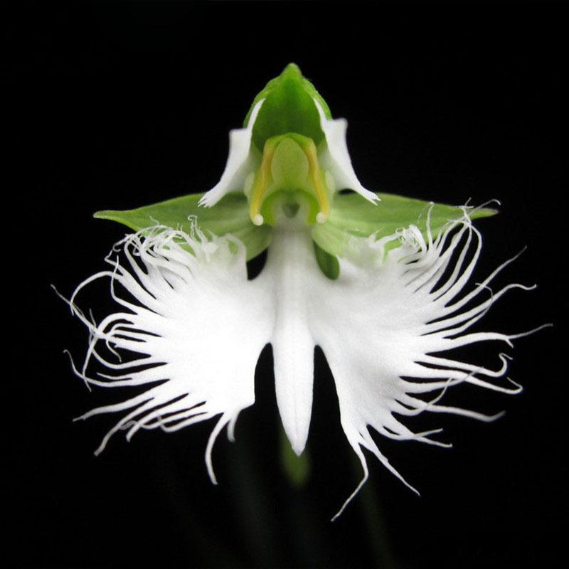 Egrow 200pcs Japanese Egret Flowers Seeds White Egret Orchid Seeds Radiata Rare White Orchid