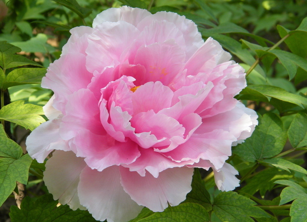5pcs Pink Peony Flower Seeds Garden Courtyard Perennial Deciduous Shrub Plant