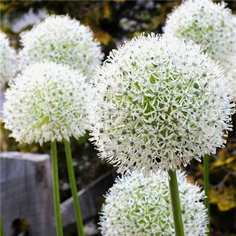Egrow 100 PCS Giant Allium Giganteum Flower Seeds Beautiful Garden Courtyard Bonsai Plant Seed
