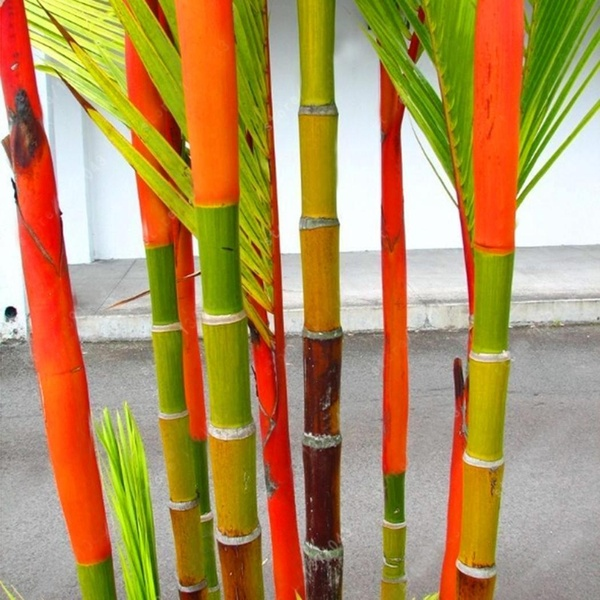 Egrow 100Pcs/Pack Colorful Palm Tree Seeds Bonsai Bamboo Seeds Home Garden Tree Seeds