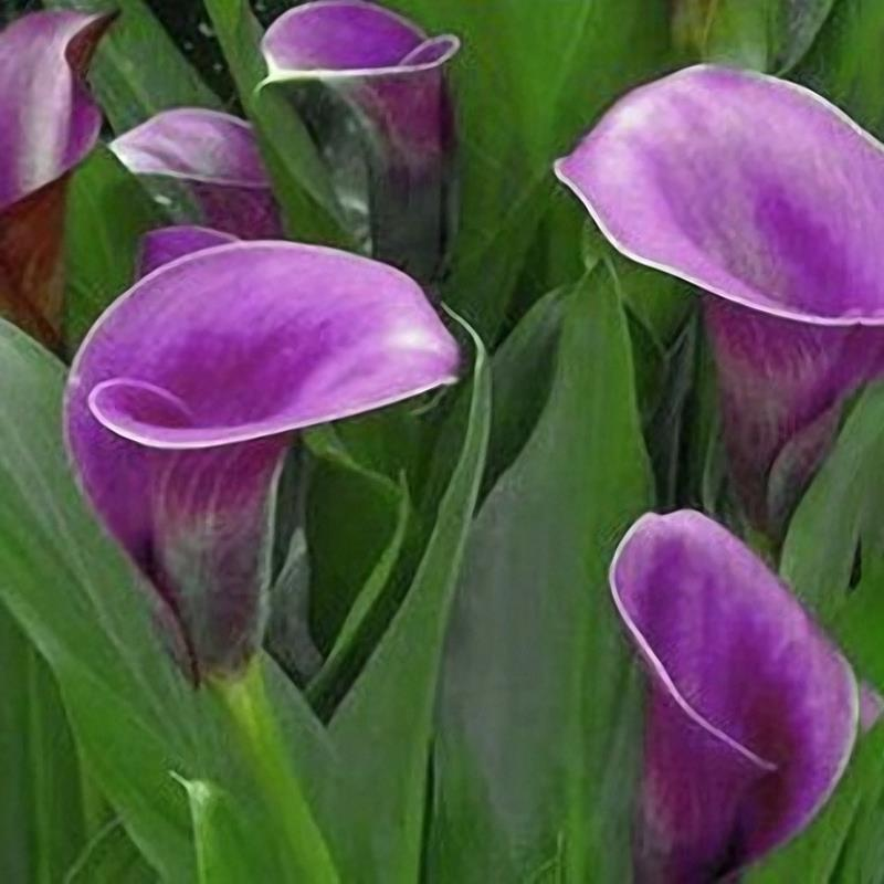Egrow 50 PCS Garden Calla Lily Seeds Tropics Blooming Plants Outdoor Indoor Potted Calla Lily Flower