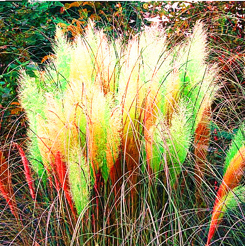 Egrow 200Pcs Pampas Grass Seed Potted Purple Pampas Grass Garden Ornamental Plants