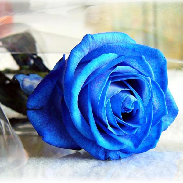 Egrow 50Pcs Blue Rose Seeds Blue Lover Rose Seeds DIY Home Garden Dec Bonsai Plant