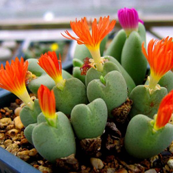 15pcs Succulent Lithops Cactus Flower Seeds Living Stones Seeds