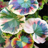 Original Egrow 100Pcs / Pack Colorful Janpanse Coleus Semillas Jardín Follaje Plantas Flores Bonsai
