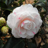 Original Egrow 10Pcs / Pack Camellia Flowers Semillas Plantas en maceta Home Garden Decorations Flower Semillas