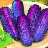 Original Egrow 100Pcs/Pack Purple Cucumber Seeds Garden Farm Vegetable Plants Seeds