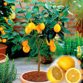Egrow 20 Pcs / Pack Graines de Citron Jaune comestible Citrus Bonsai Maison Jardin Graines de Citron Fruits Frais