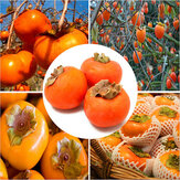 Egrow 30 Pcs / Pack Graines d'Arbre de Persimmon Diospyros Kaki Fruits Graine Maison Jardin Bonsaï Plantes