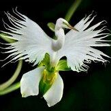 Egrow 200pcs Fleurs Aigrette Japonais Fleur Blanche Graines Orchidées Radiata Rare Orchid Blanc