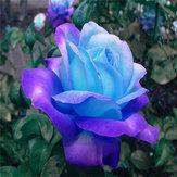 Egrow 100 piezas de medianoche rosa suprema Semillas semillas de flor en maceta rosa púrpura Semillas para el inicio de la siembra