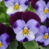 Original Egrow 100Pcs / Pack Blue Purple Viola Semillas Jardín Groundcover Flor anual Semillas