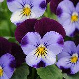 Original Egrow 100Pcs / Pack Blue Purple Viola Semillas Jardín Groundcover Flor anual Semillas