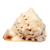 Original Natural Cassis Cornuta Trumpet Sea Shell Decorations Conch Snails Home Ornament Xmas Gift Decorations