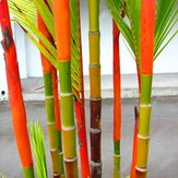 Original Egrow 100Pcs / Pack Colorful Palmera Semillas Bonsai Bamboo Semillas Home Garden Tree Semillas