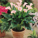 Egrow 50 PCS Calla Lily Graines Tropic Beautifying Plantes Jardin En Pot Fleurs Vivaces Lily Graines