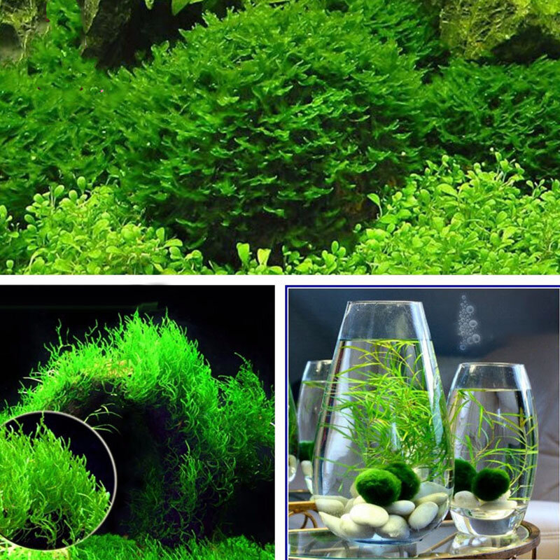 Egrow 200pcspack Moss Live Aquatic Plants Seeds Aquarium Water
